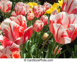 Close up of Red and White Tulips
