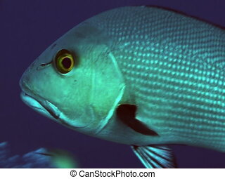 Close up of red bass on the great barrier reef.