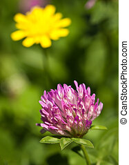Close-up of red clover