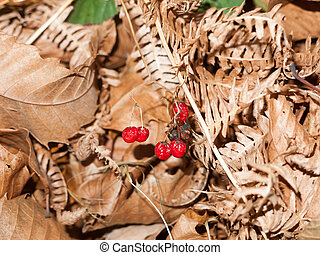 close up of red deadly night shade shriveled berries ground autumn leaves fall