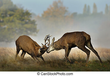 Red deer fighting during rutting season