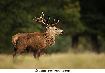 Close-up of red deer stag standing in a grass field