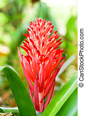 Close up of red pineapple flowers