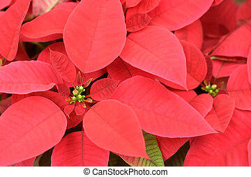Close up of red poinsettia flowers, for backgrounds or...