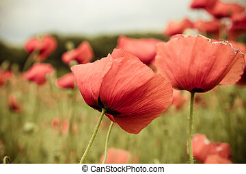Close up of red poppy flowers in spring field