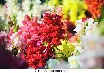 Close up of red snapdragon in the garden