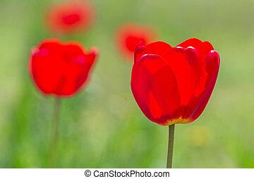 close up of red tulip