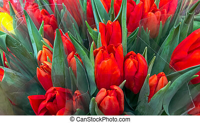 Close-Up Of Red Tulips Background