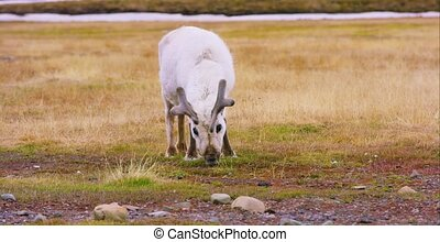 Close-up of reindeer eating grass in the arctic nature
