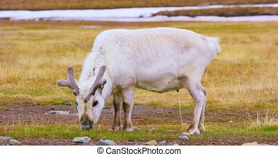 Close-up of reindeer in the arctic nature - Reindeer eating...