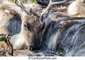 Close-up of reindeer on the soil