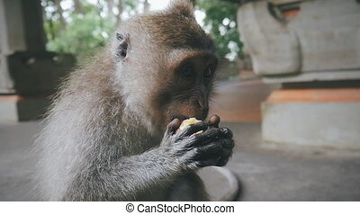 close-up of rhesus monkey holding food and eating it in slow...