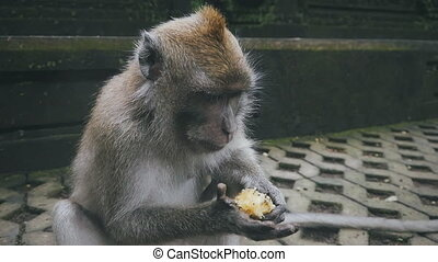 close-up of rhesus monkey holding food and eating it -...
