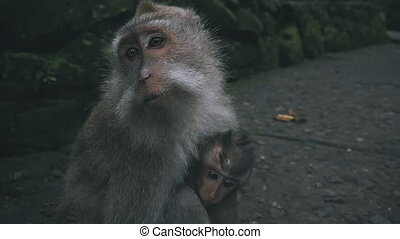 Close up of rhesus monkey in monkey forest - Close up of...