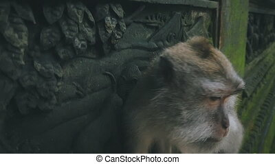 Close up of rhesus monkey looking around in slow motion -...