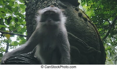 Close up of rhesus monkey runs in slow motion - Close up of...