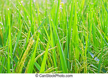 Close up of rice plants shot early morning.