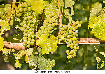 ripe bunches of Sauvignon Blanc grapes growing on vine in...