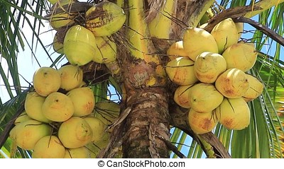 coconut clusters - close-up of ripe coconut clusters