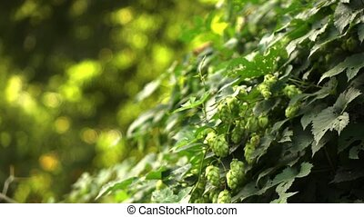 hop cones on the garden. - Close up of ripe hop cones on the...