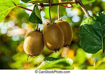 Close-up of ripe kiwi fruit on the bushes. Italy agritourism...