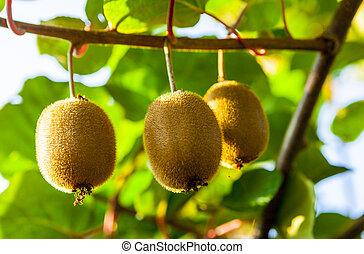 Close-up of ripe kiwi fruit on the bushes. Italy agritourism