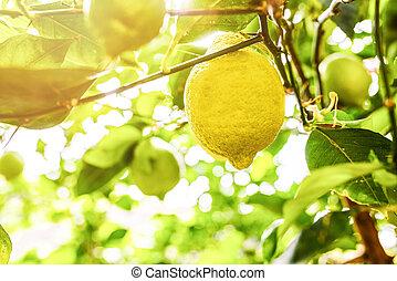 close-up of ripe lemon fruit on lemon tree