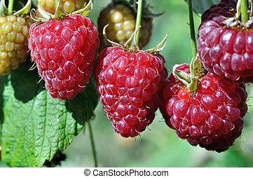 close-up of ripe raspberries