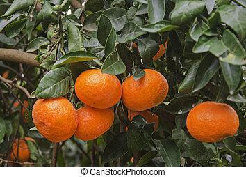 Close up of Ripe tangerines on tree