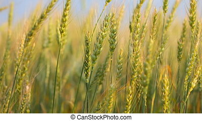 Close up of ripe wheat ears