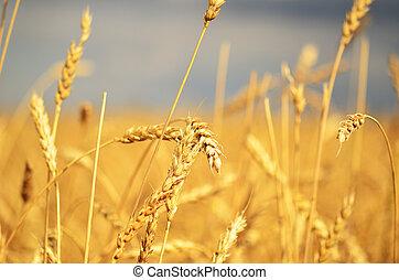 ripe wheat - close up of ripe wheat