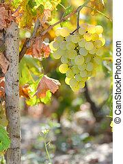 Close-up of ripe wine grapes