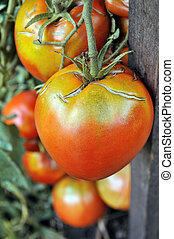 close-up of ripening tomato