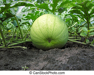 close-up of ripening watermelon in the vegetable garden