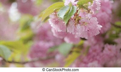 Close up of rose blossom of seasonal tree.