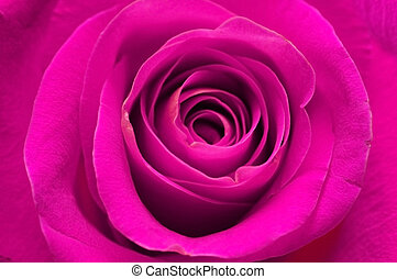 Close-up of rose - shallow depth of field