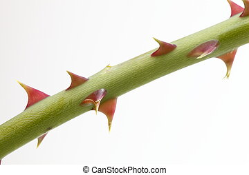 Close up of rose thorn over white background