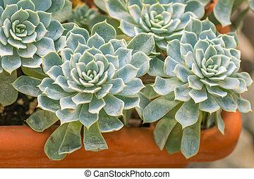 close up of rosetted echeveria, succulent in a pot
