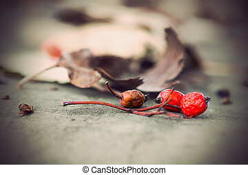 rowan berries with dry brown leaves