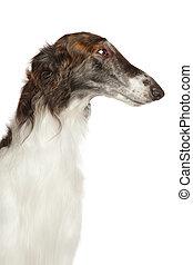 Close-up of Russian borzoi dog isolated on white background