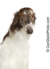 Close-up of Russian borzoi dog