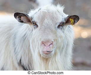 Close up of saanen goat on the farm