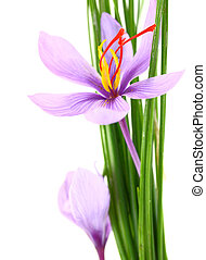 Close up of saffron flowers