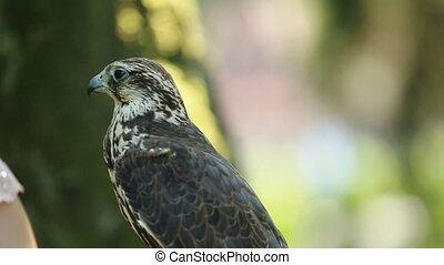 Close-up of Saker falcon. Falco cherrug. Bird of prey...