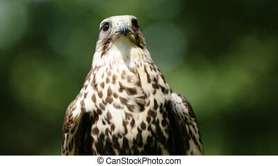 Close-up of Saker Falcon sitting on a glove, green trees as...