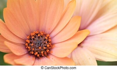 Close up of salmon African Daisy