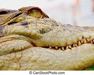 close up of salt water crocodile in Australia
