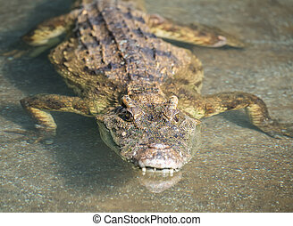 Close up of Saltwater Crocodile in water