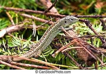 Sand Lizard - Lacerta Agilis - Close up of Sand Lizard -...