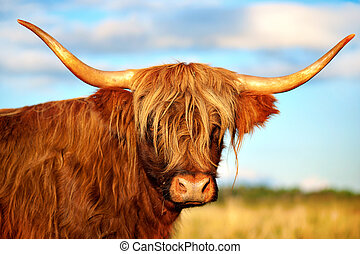 scottish highland cow - Close up of scottish highland cow in...
